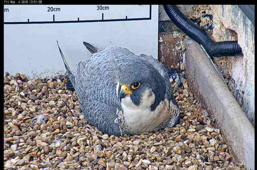 The male NTU falcon
