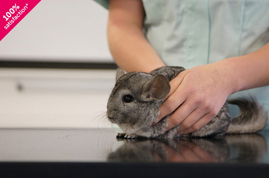 Chinchilla being held on table