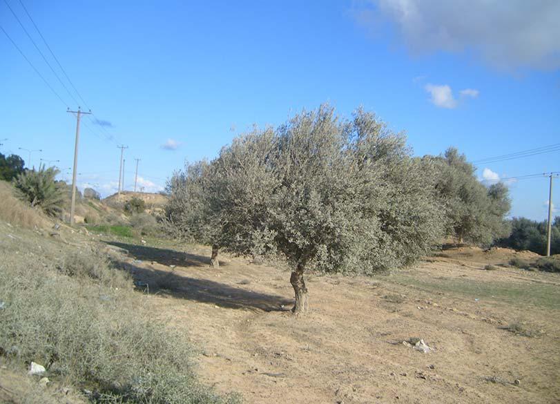 Libya Tree