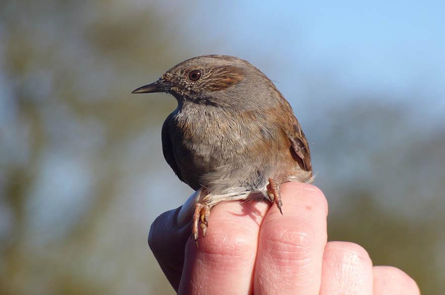 Bird ringing