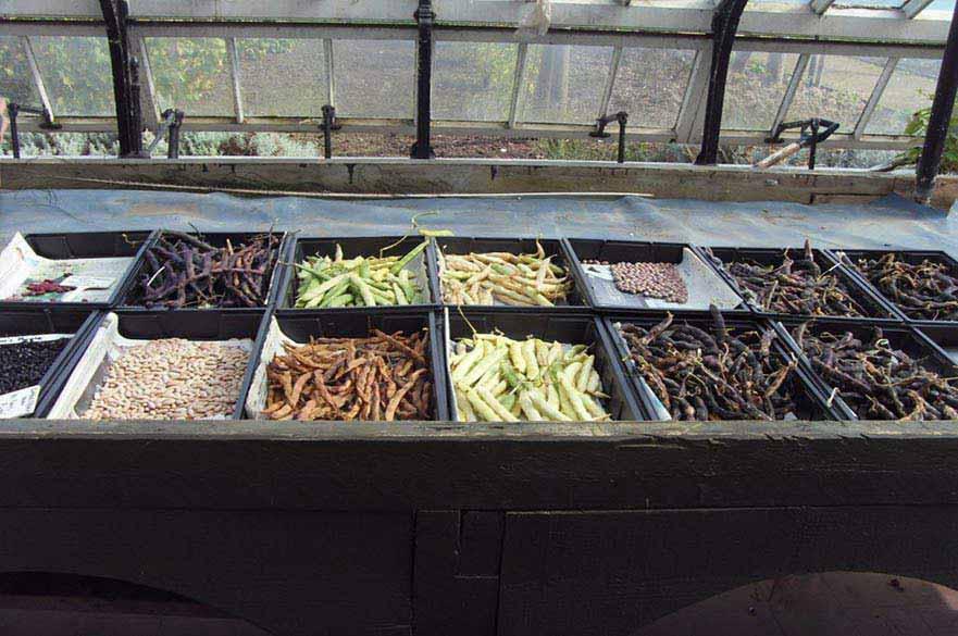 Beans drying