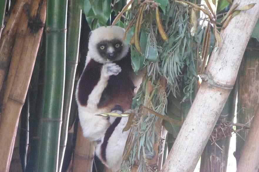Sikaka and baby, Madagascar