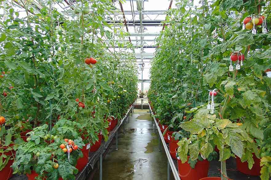 Tomato plants in the Glasshouse complex