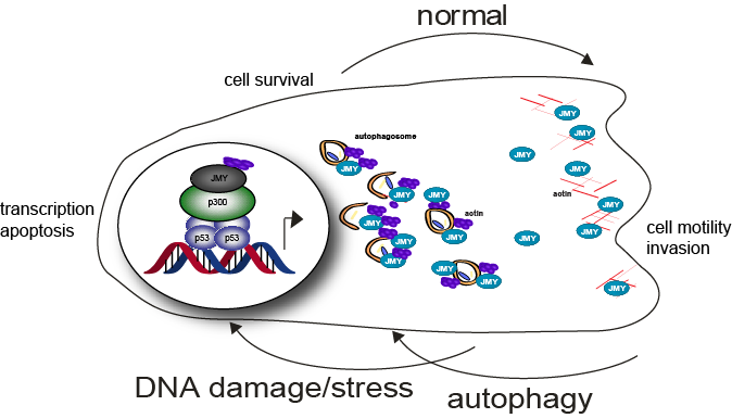cell survival cycle image