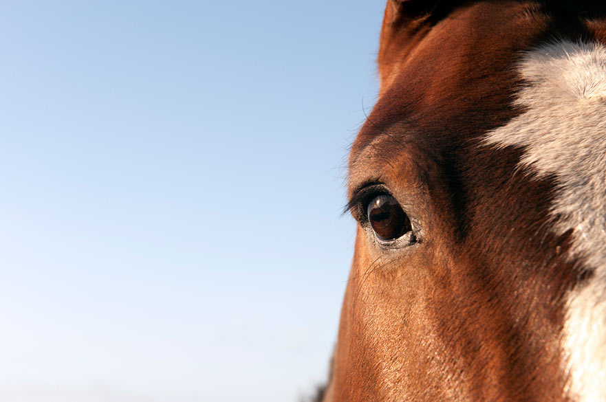 Image shows horses face