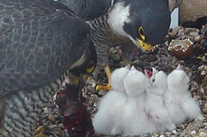 Peregrine feeding