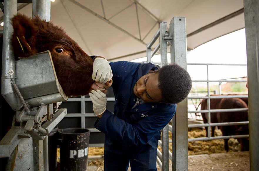 Examining a cow in a cattle crush