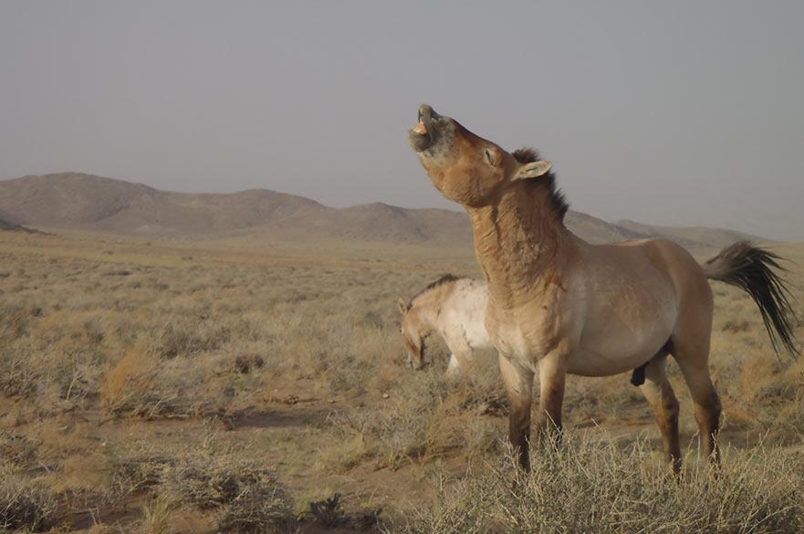 Takhi Wild Horse