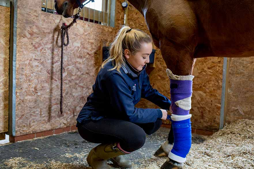 Student bandaging horse