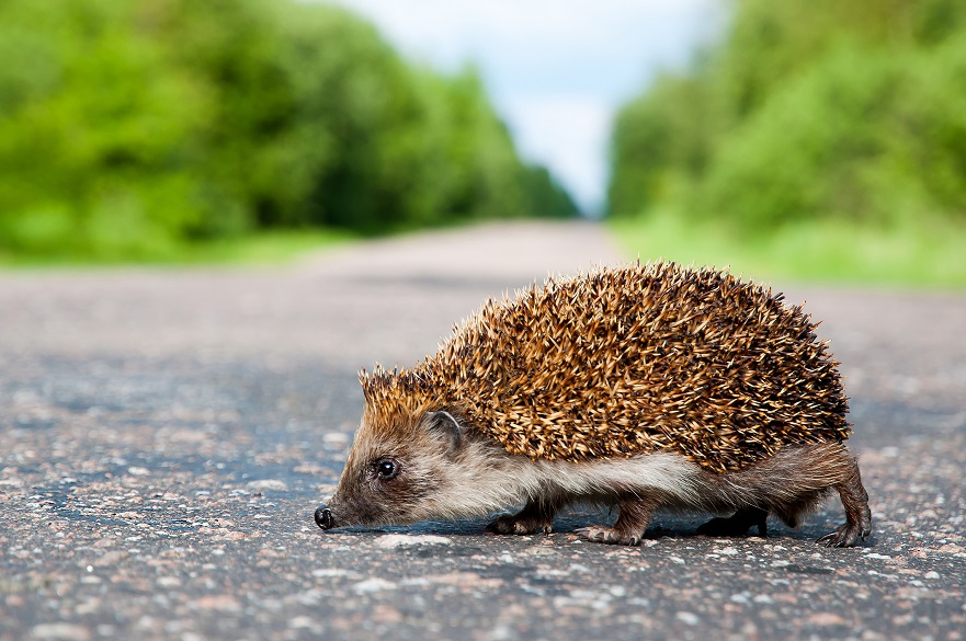 Hedgehog on road