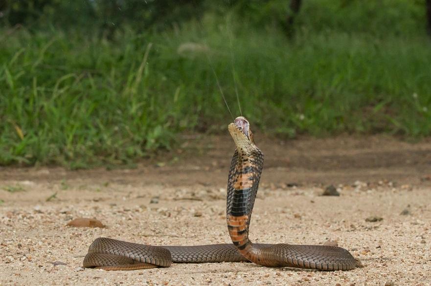 Spitting cobra (Image Wolfgang Wüster)