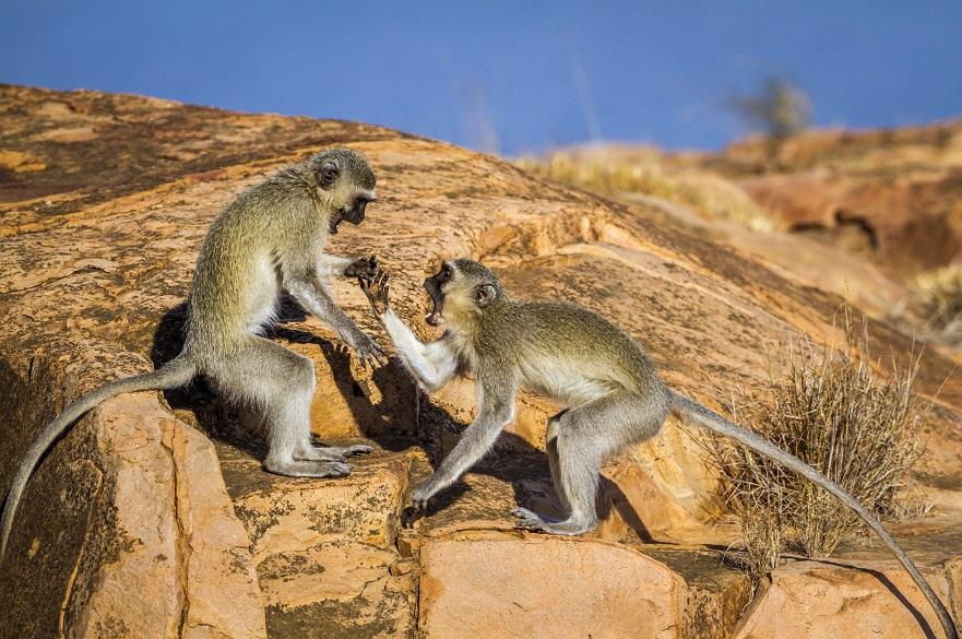 Vervet monkeys fighting on a rock