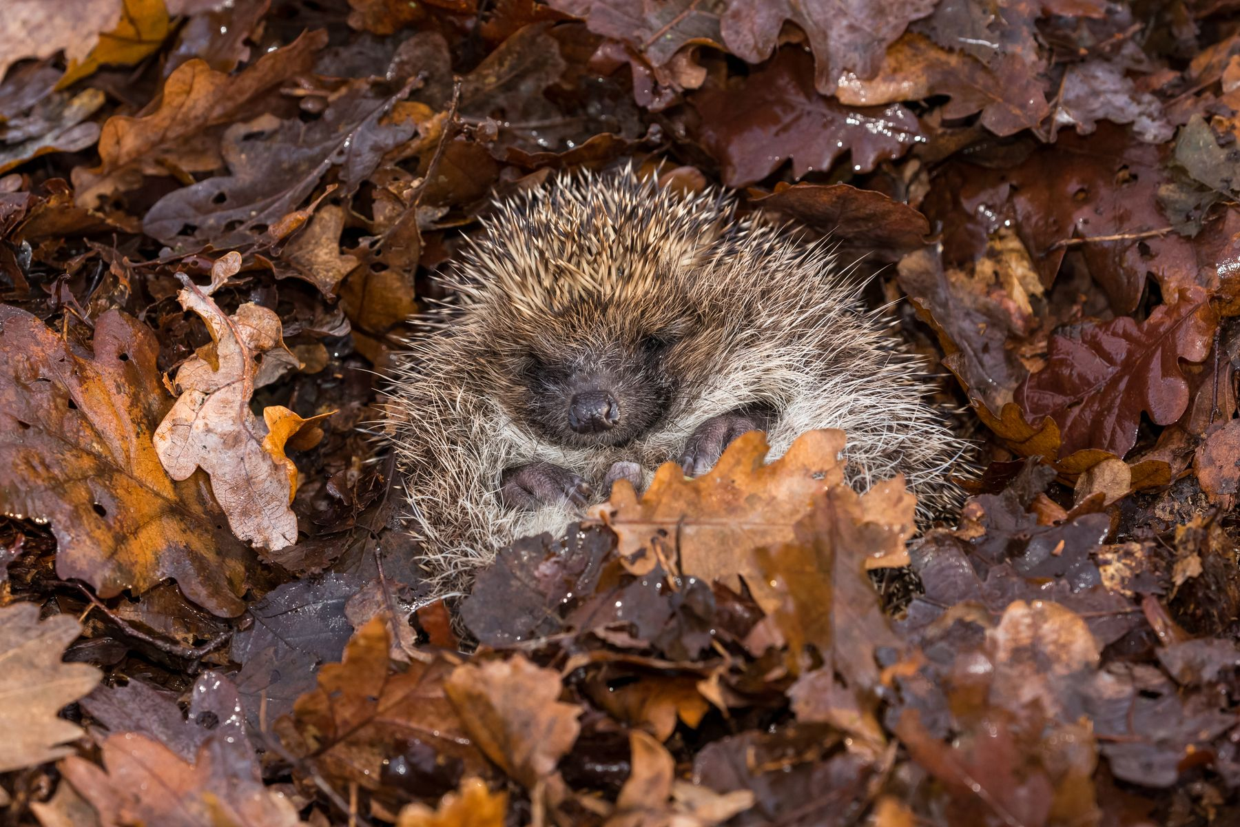 Hedgehog in hibernation