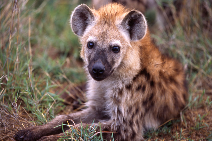 Hyena lying on the grass